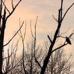 """Turkey Vulture Waiting at Sunset"" by KsWorldArt"