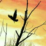 """Turkey Vulture Flight Yellow"" by KsWorldArt"