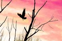 Turkey Vulture Flight at Twilight