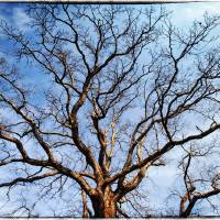Oak Tree Art Prints & Posters by Skip Nall