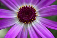Purple Cineraria Flower Close-up 2016