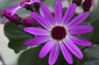Purple Cineraria Flower and Buds 2016