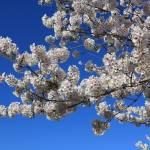 """""""White Blossoms against Blue Sky"""" by Groecar"""