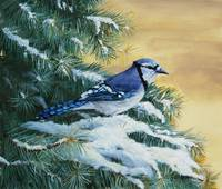 Blue-jay And Blue Spruce
