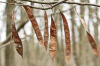 Redbud Seed Pods - Just Before Spring