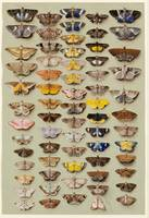 Marian Ellis Rowan (1848-1922), A study of moths c