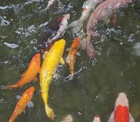Large yellow ornamental fish in a pond.