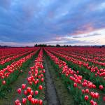 """Red Sky over Tulips"" by Dawsonimages"