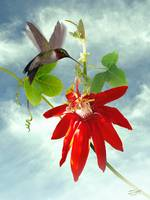 Hummingbird and Red Passion Flower Vine