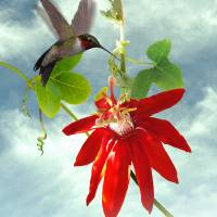 Hummingbird and Red Passion Flower Vine by I.M. Spadecaller