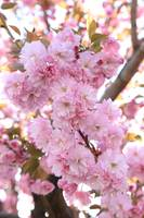 Pink Blossoms Beauty