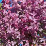 """Love Lilacs"" by Groecar"