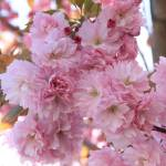 """""""Sunlight through Pink Blossoms"""" by Groecar"""