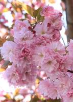 Sunlight through Pink Blossoms