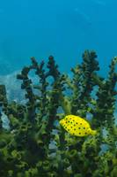 Small Boxfish