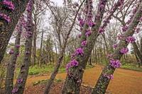 Eastern Redbud in Spring Bloom