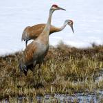 """Sandhill Crane"" by vpicks"