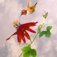Rufous Hummingbird and Passion Flower by I.M. Spadecaller