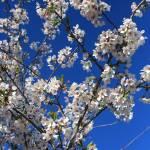 """White Blossoms Blue Sky"" by Groecar"