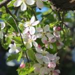 """Cascading Apple Blossoms"" by Groecar"