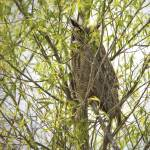 """Great Horned Owl"" by SederquistPhotography"