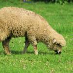 """""""Sheep in a Pasture"""" by rhamm"""