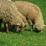 """Three Sheep"" by rhamm"