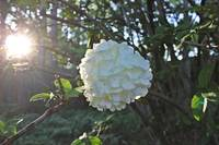 Chinese Viburnum Sunlight