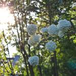 """Chinese Viburnum in Sunlight (1)"" by kFergPhotos"