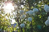 Chinese Viburnum in Sunlight (1)