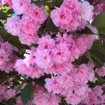 """Kwanzan Cherry Tree Blossoms"" by Groecar"
