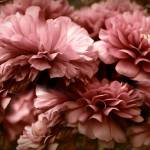 """Midnight Ranunculus"" by JessicaJenney"
