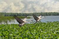Sandhill Cranes of Florida