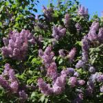 """Blooming Lilacs"" by Groecar"