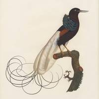 Sharpes Birds of Paradise 1890s, The nebulous in t