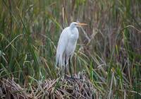 GY0A4090_GreatEgret