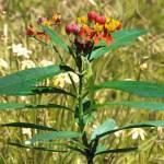 """""""GreenAnoleScarlet Milkweed"""" by spadecaller"""