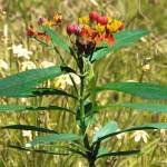 """""""Scarlet Milkweed and Green Anole"""" by spadecaller"""
