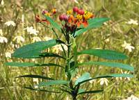 Scarlet Milkweed and Green Anole