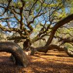 """Angel Oak Tree Charleston Sc"" by DAPhoto"