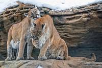 Mountain Lions Grooming