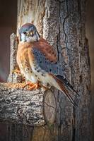 American Kestrel (Sparrow Hawk)