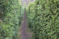 Enter the Hedge Maze