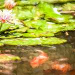 """Waterlily and Koi"" by johncorney"