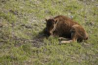 Calf Wood Bison