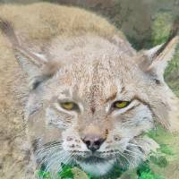 Eye to Eye with a Lynx in the Grass Art Prints & Posters by Elaine Plesser