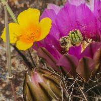 Poppy and Cactus Flowers with Bee Art Prints & Posters by Allen Sheffield