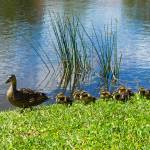 """Momma and Her Baby Ducklings"" by waynecantrell"