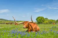 Longhorn Laying in Bluebonnets