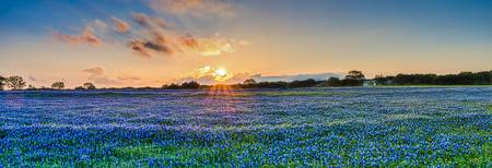 Bluebonnet at Sunset with Bluebonnets Pano